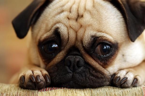 Sad Face Pug